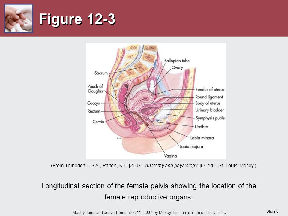 Slide 6 Mosby items and derived items © 2011, 2007 by Mosby, Inc., an affiliate of Elsevier Inc. Figure 12-3 Longitudinal section of the female pelvis