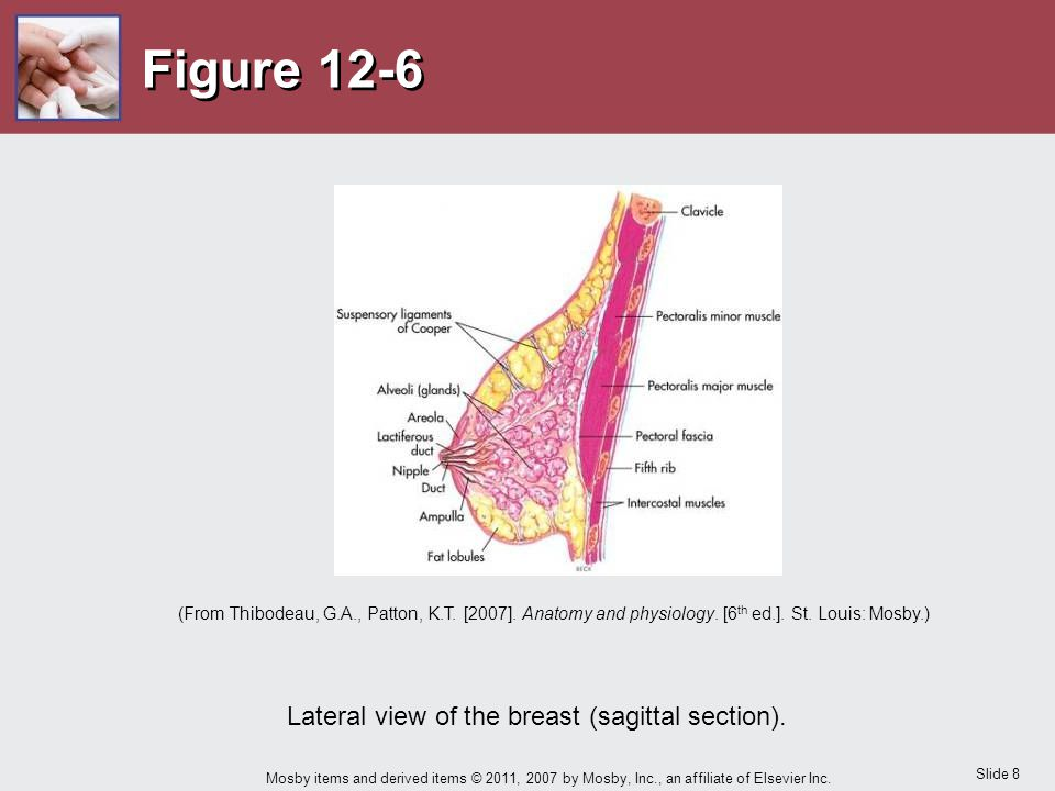Slide 8 Mosby items and derived items © 2011, 2007 by Mosby, Inc., an affiliate of Elsevier Inc. Figure 12-6 Lateral view of the breast (sagittal sect