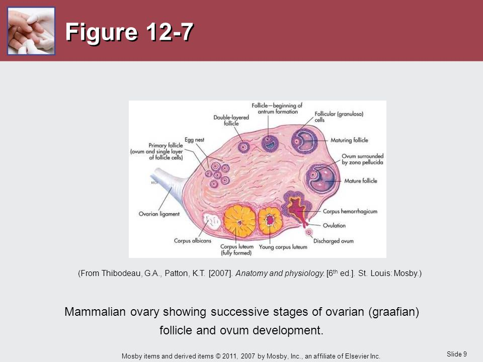 Slide 9 Mosby items and derived items © 2011, 2007 by Mosby, Inc., an affiliate of Elsevier Inc. Figure 12-7 Mammalian ovary showing successive stages