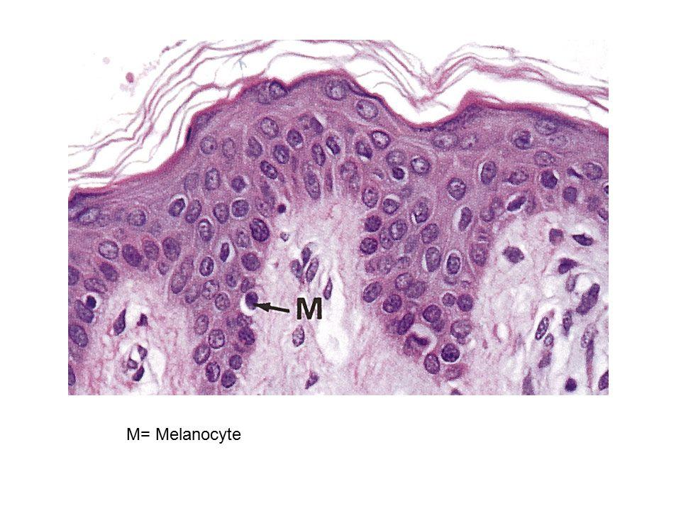 M= Melanocyte