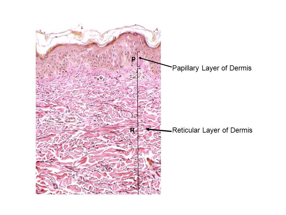Papillary Layer of Dermis Reticular Layer of Dermis