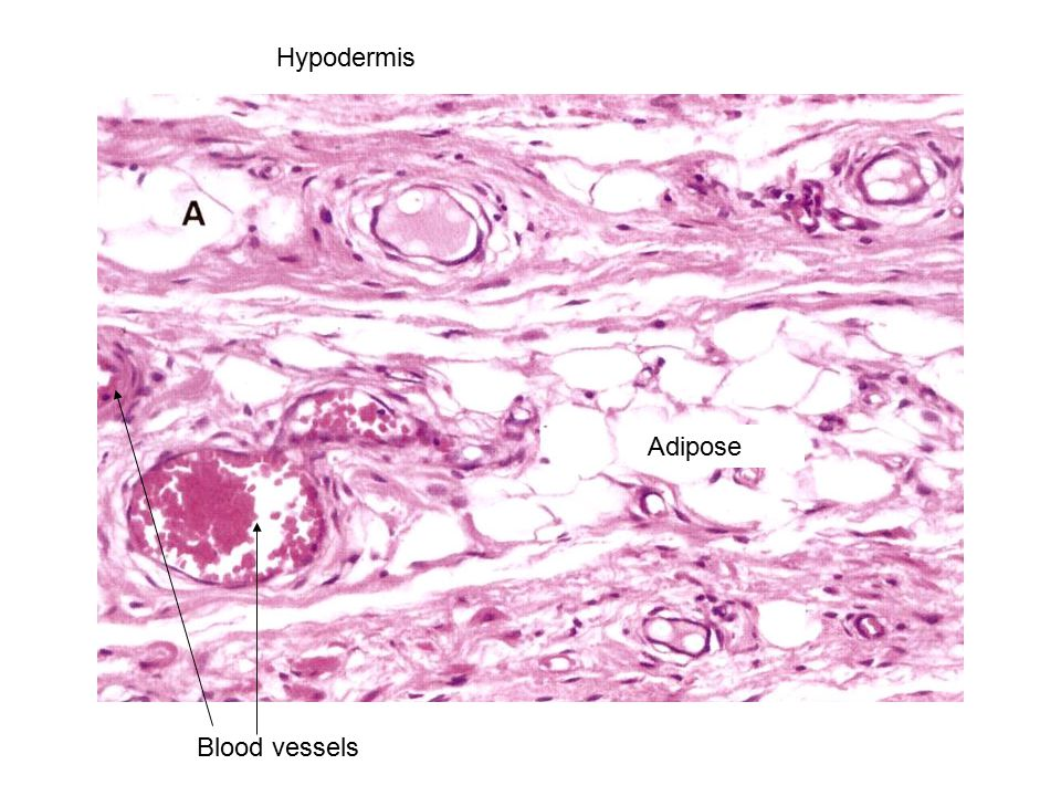 Hypodermis Blood vessels Adipose