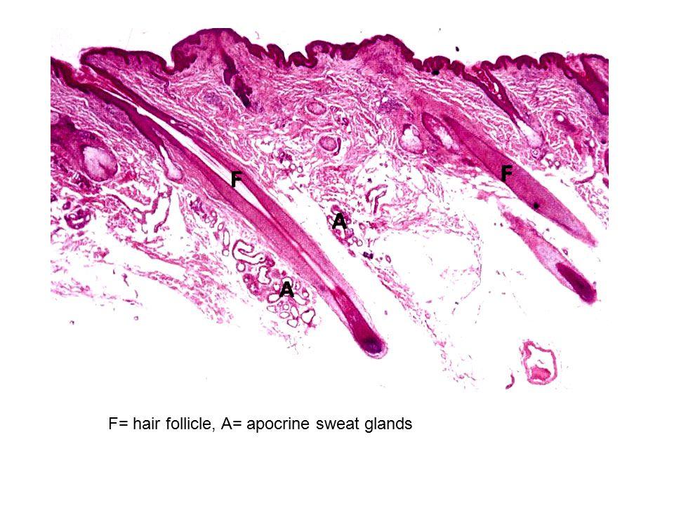 F= hair follicle, A= apocrine sweat glands