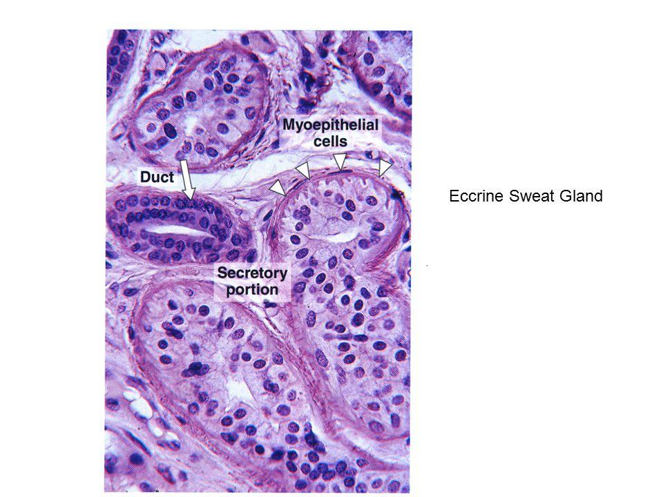 Eccrine Sweat Gland