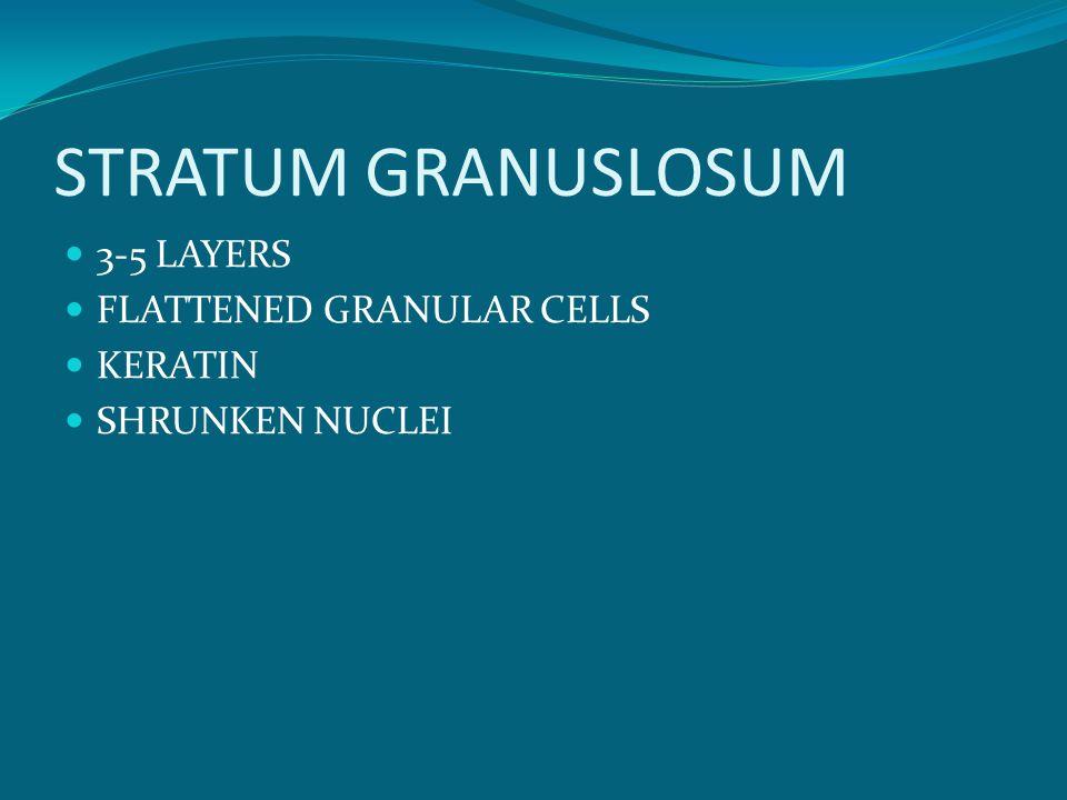 STRATUM GRANUSLOSUM 3-5 LAYERS FLATTENED GRANULAR CELLS KERATIN SHRUNKEN NUCLEI