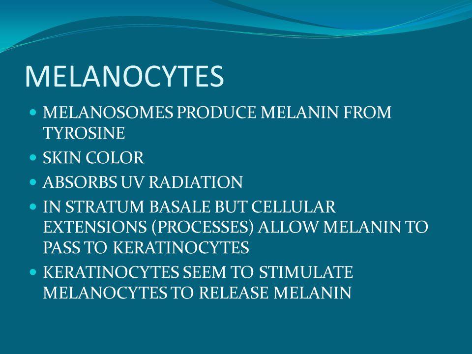 MELANOCYTES MELANOSOMES PRODUCE MELANIN FROM TYROSINE SKIN COLOR ABSORBS UV RADIATION IN STRATUM BASALE BUT CELLULAR EXTENSIONS (PROCESSES) ALLOW MELANIN TO PASS TO KERATINOCYTES KERATINOCYTES SEEM TO STIMULATE MELANOCYTES TO RELEASE MELANIN