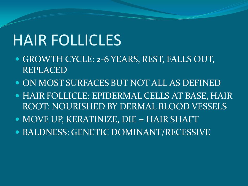 HAIR FOLLICLES GROWTH CYCLE: 2-6 YEARS, REST, FALLS OUT, REPLACED ON MOST SURFACES BUT NOT ALL AS DEFINED HAIR FOLLICLE: EPIDERMAL CELLS AT BASE, HAIR ROOT: NOURISHED BY DERMAL BLOOD VESSELS MOVE UP, KERATINIZE, DIE = HAIR SHAFT BALDNESS: GENETIC DOMINANT/RECESSIVE