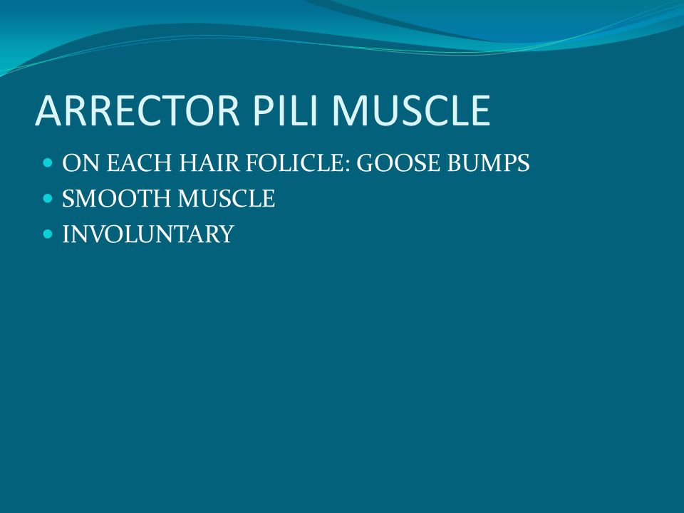 ARRECTOR PILI MUSCLE ON EACH HAIR FOLICLE: GOOSE BUMPS SMOOTH MUSCLE INVOLUNTARY