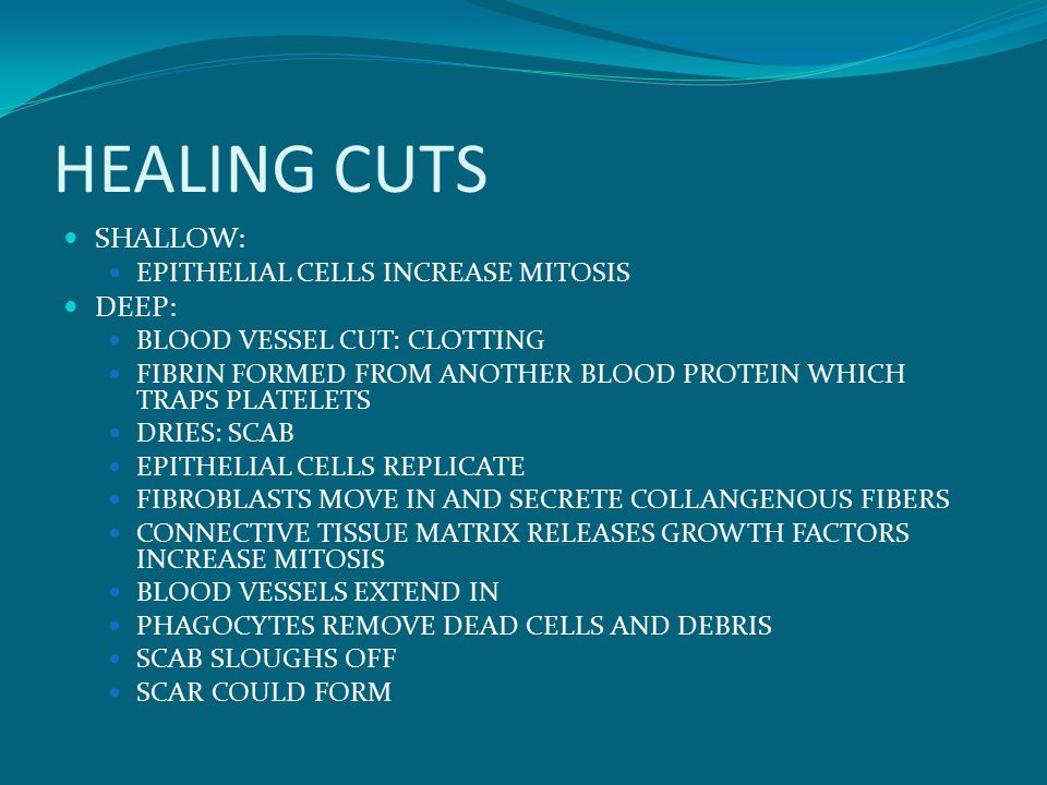 HEALING CUTS SHALLOW: EPITHELIAL CELLS INCREASE MITOSIS DEEP: BLOOD VESSEL CUT: CLOTTING FIBRIN FORMED FROM ANOTHER BLOOD PROTEIN WHICH TRAPS PLATELETS DRIES: SCAB EPITHELIAL CELLS REPLICATE FIBROBLASTS MOVE IN AND SECRETE COLLANGENOUS FIBERS CONNECTIVE TISSUE MATRIX RELEASES GROWTH FACTORS INCREASE MITOSIS BLOOD VESSELS EXTEND IN PHAGOCYTES REMOVE DEAD CELLS AND DEBRIS SCAB SLOUGHS OFF SCAR COULD FORM