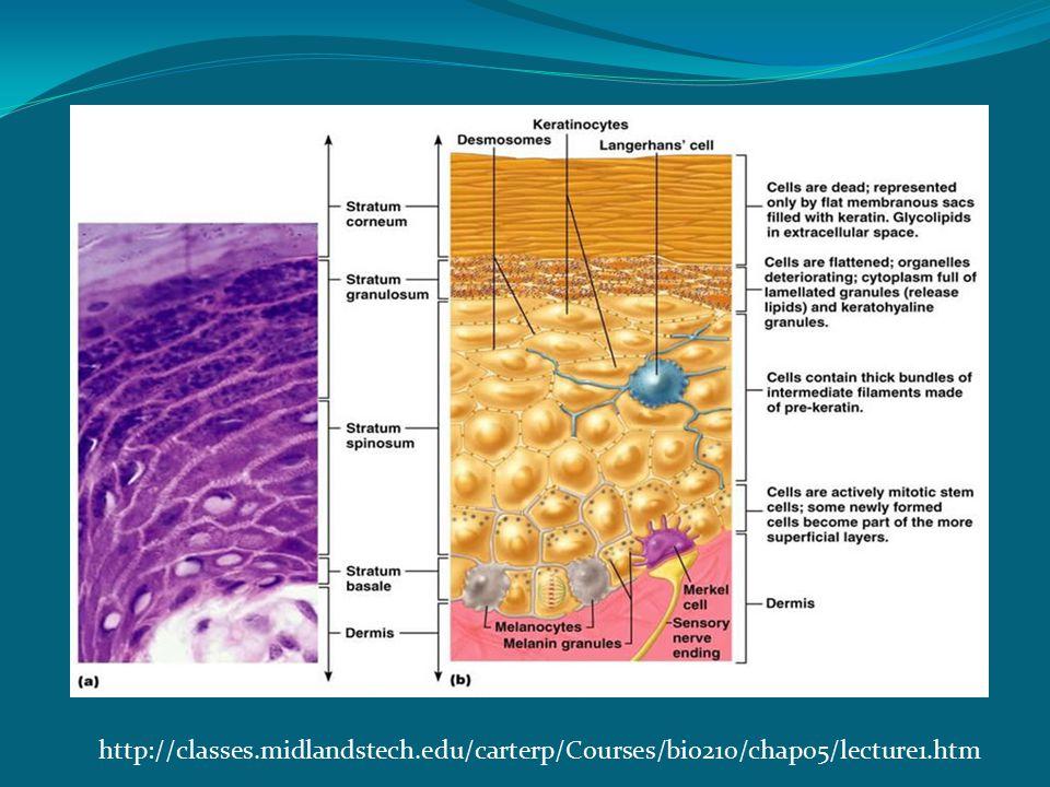 http://classes.midlandstech.edu/carterp/Courses/bio210/chap05/lecture1.htm