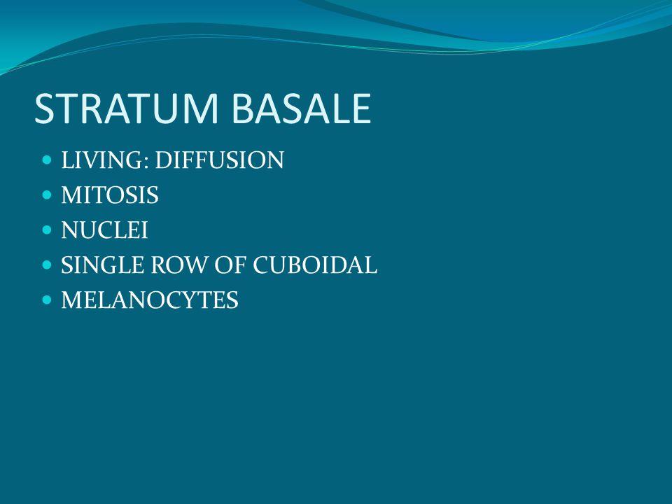 STRATUM BASALE LIVING: DIFFUSION MITOSIS NUCLEI SINGLE ROW OF CUBOIDAL MELANOCYTES