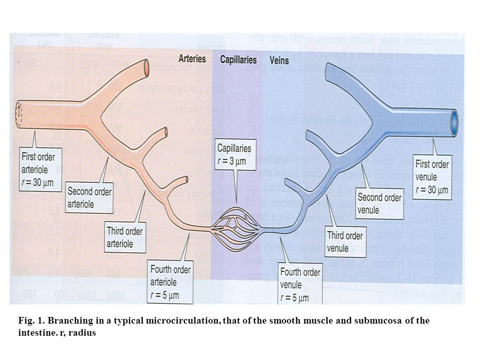 Capillary Circulation: Revision of the anatomical structure of the capillaries Fig.