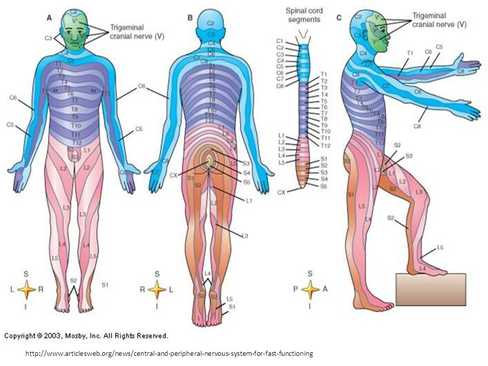 http://www.articlesweb.org/news/central-and-peripheral-nervous-system-for-fast-functioning