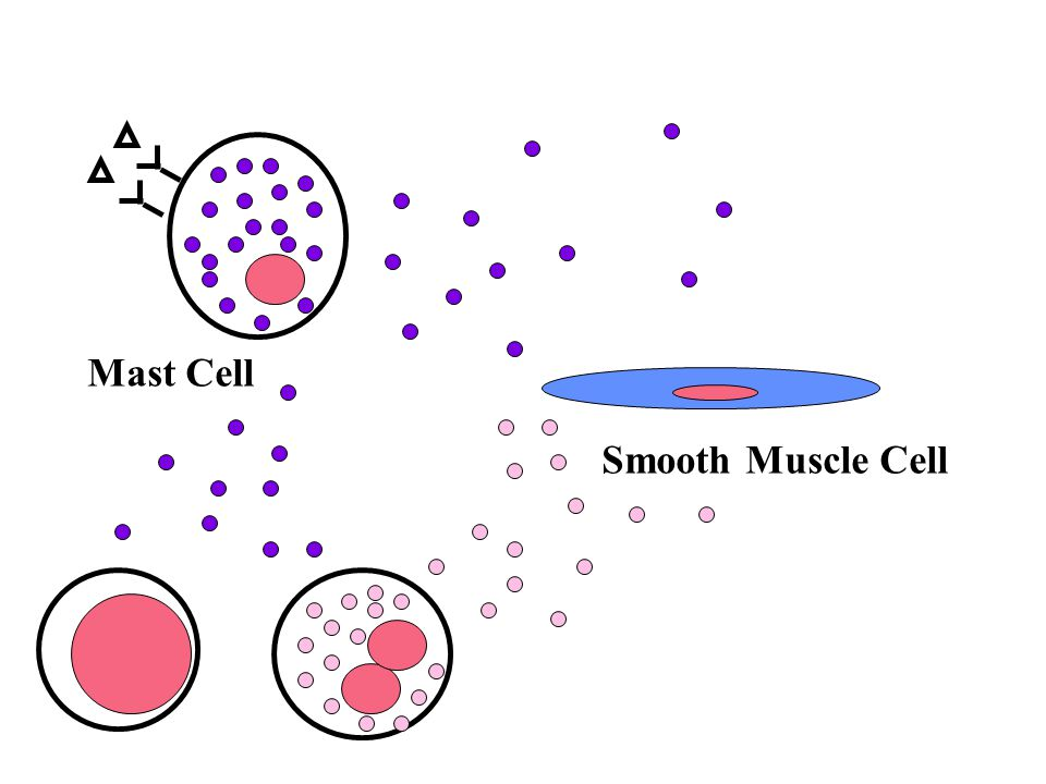 Mast Cell Smooth Muscle Cell