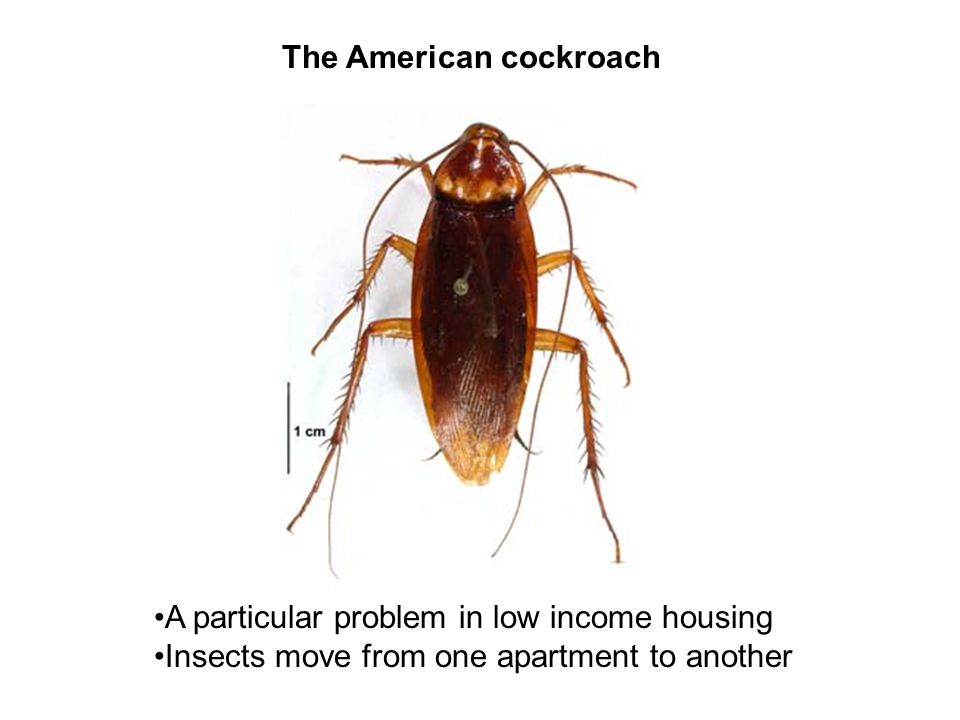 The American cockroach A particular problem in low income housing Insects move from one apartment to another