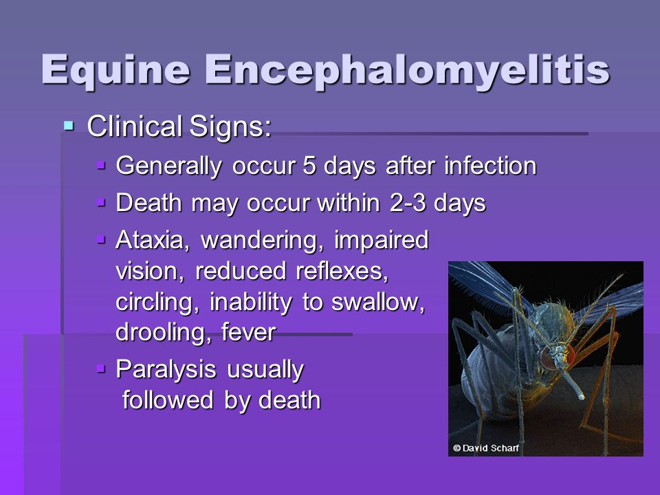 Equine Encephalomyelitis  Clinical Signs:  Generally occur 5 days after infection  Death may occur within 2-3 days  Ataxia, wandering, impaired vision, reduced reflexes, circling, inability to swallow, drooling, fever  Paralysis usually followed by death