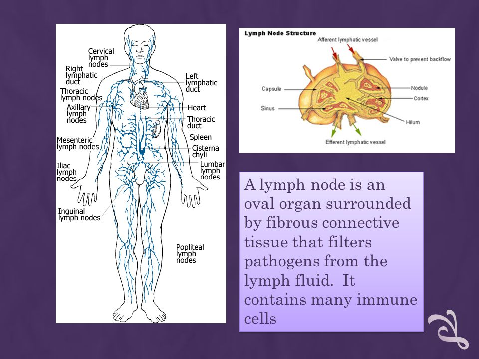 A lymph node is an oval organ surrounded by fibrous connective tissue that filters pathogens from the lymph fluid.