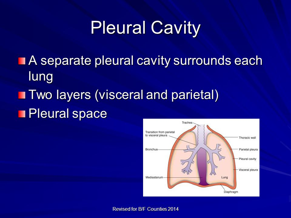 Pleural Cavity A separate pleural cavity surrounds each lung Two layers (visceral and parietal) Pleural space Revised for B/F Counties 2014