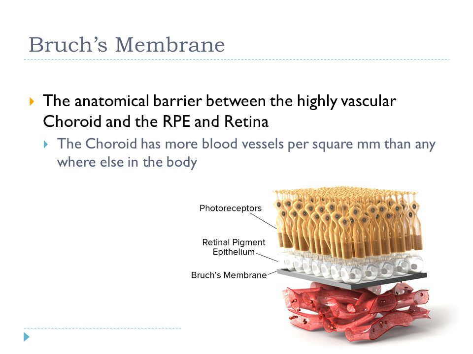 Bruch's Membrane  The anatomical barrier between the highly vascular Choroid and the RPE and Retina  The Choroid has more blood vessels per square m