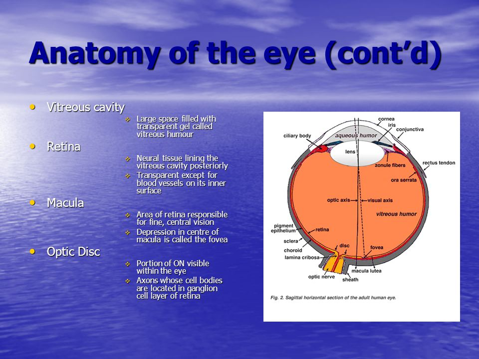 Anatomy of the eye (cont'd) Vitreous cavity Vitreous cavity  Large space filled with transparent gel called vitreous humour Retina Retina  Neural ti