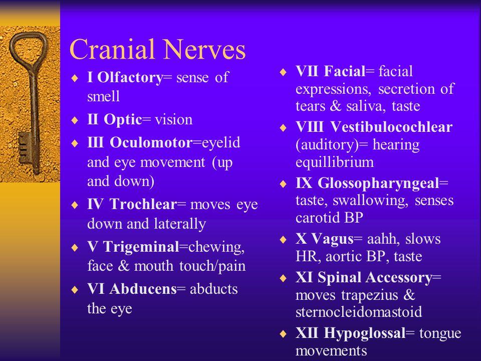 Cranial Nerves  I Olfactory  II Optic  III Oculomotor  IV Trochlear  V Trigeminal  VI Abducens  VII Facial  VIII Vestibulocochlear  IX Glosso