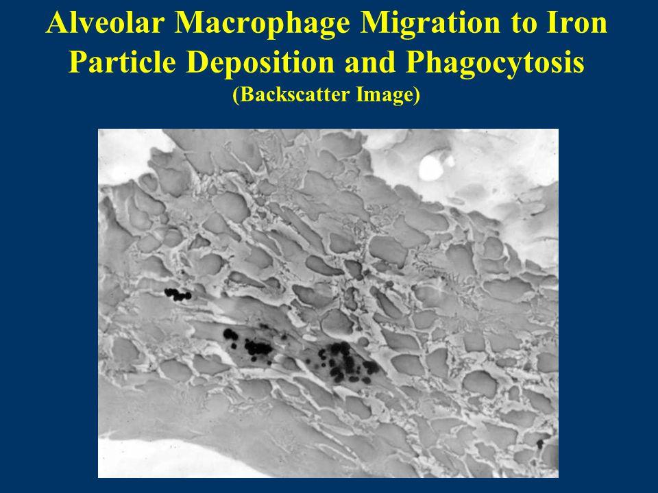 Alveolar Macrophage Migration to Iron Particle Deposition and Phagocytosis (Backscatter Image)
