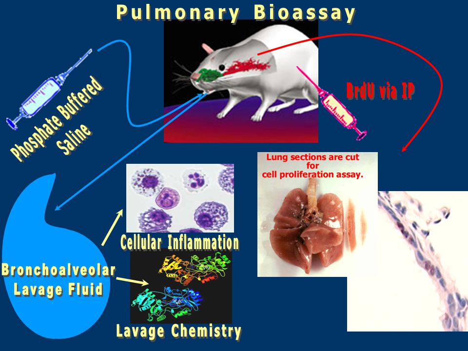 Parameter BALF Cells and Differentials BALF Lactate Dehydrogenase BALF Alkaline Phosphatase BALF Protein Lung Weights Macrophage phagocytosis Cell Proliferation Histopathology Use of Bronchoalveolar Lavage, Cell Proliferation, and Histopathology to Assess the Lung Toxicity of CNT samples Indicator Lung Inflammation Non-specific cytotoxicity Type 2 cell epithelial toxicity Permeability  of alveolar/ capillary barrier Pulmonary edema or fibrosis Lung clearance functions Inflammation/lung fibrosis and tumor potential Evaluation of lung tissue responses (BALF = Bronchoalveolar Lavage Fluid Analysis)
