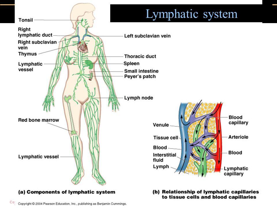 Copyright © 2004 Pearson Education, Inc., publishing as Benjamin Cummings Lymphatic system