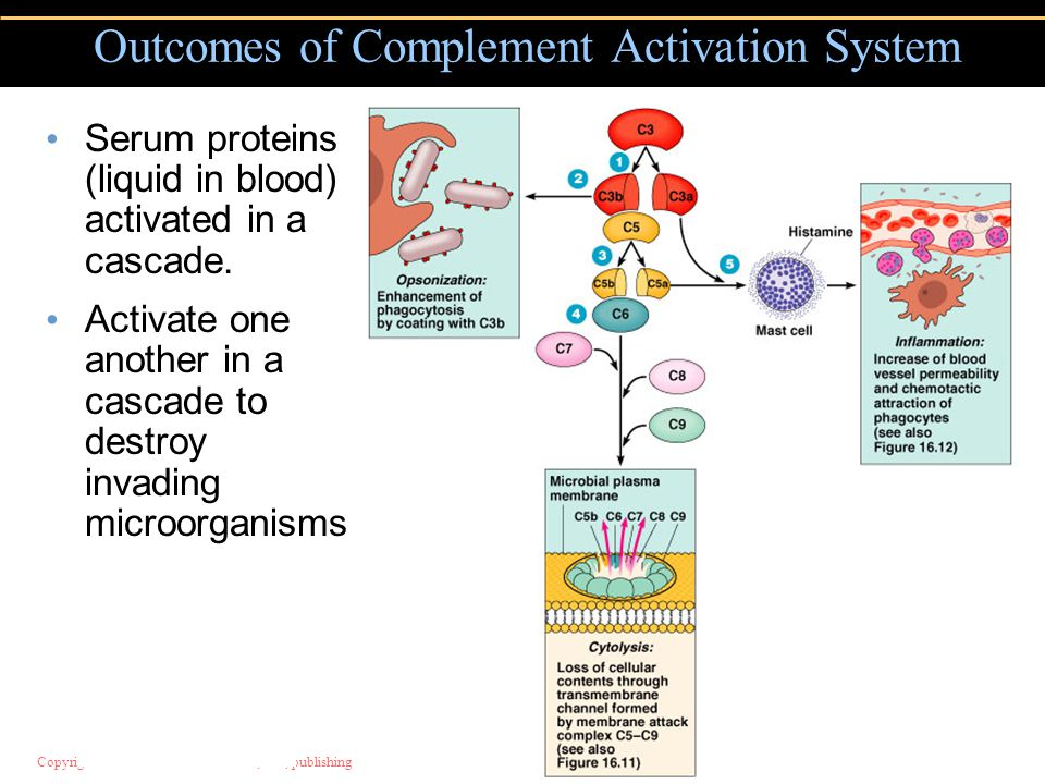 Copyright © 2004 Pearson Education, Inc., publishing as Benjamin Cummings Serum proteins (liquid in blood) activated in a cascade. Activate one anothe