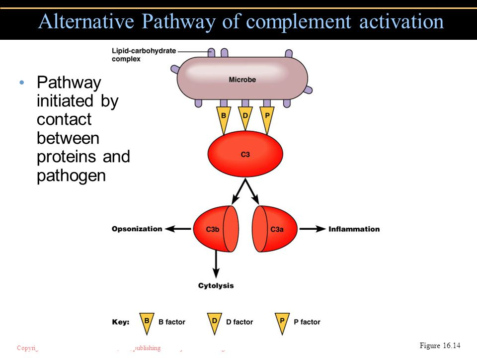Copyright © 2004 Pearson Education, Inc., publishing as Benjamin Cummings Alternative Pathway of complement activation Figure 16.14 Pathway initiated