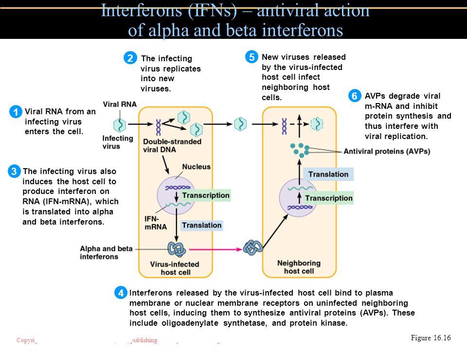 Copyright © 2004 Pearson Education, Inc., publishing as Benjamin Cummings Interferons (IFNs) – antiviral action of alpha and beta interferons Figure 1