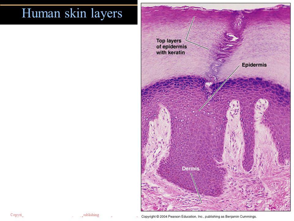 Copyright © 2004 Pearson Education, Inc., publishing as Benjamin Cummings Human skin layers