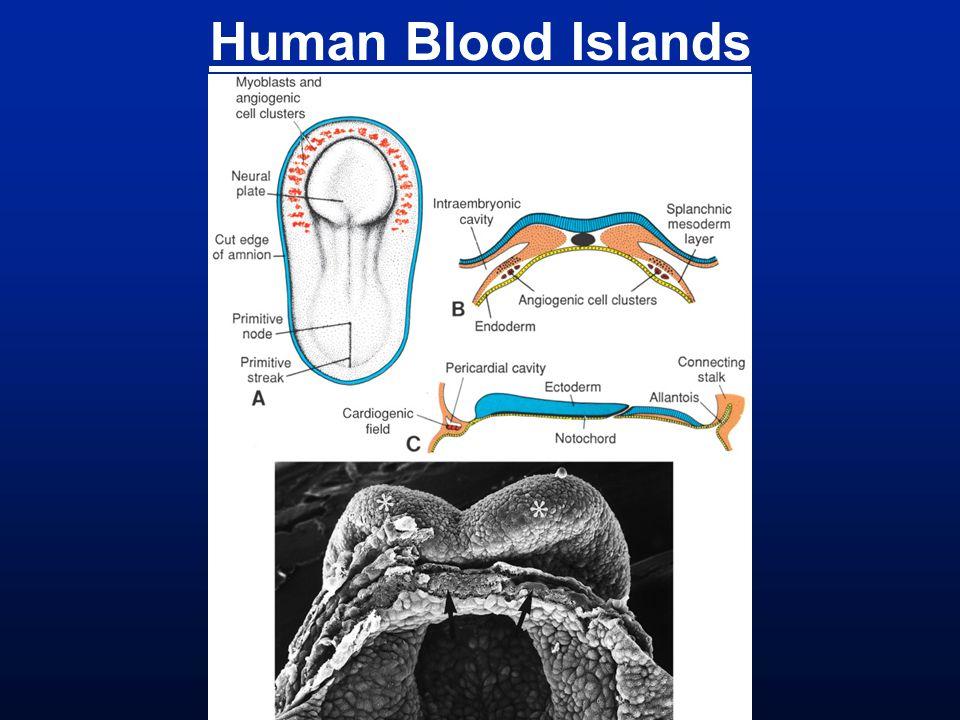 Human Blood Islands