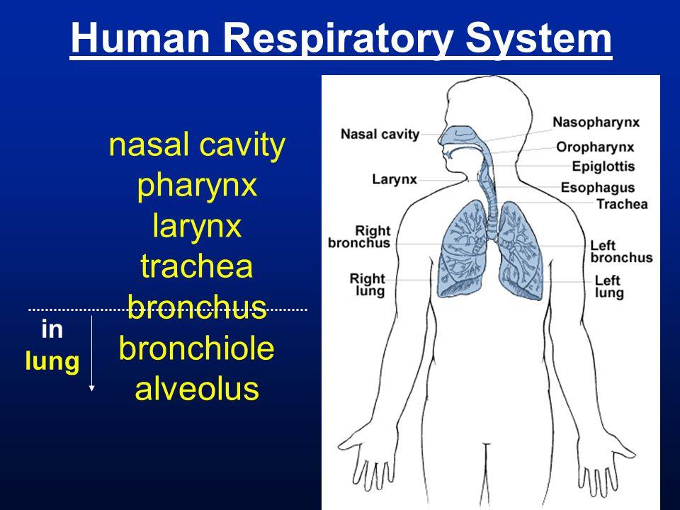 Human Respiratory System nasal cavity pharynx larynx trachea bronchus bronchiole alveolus in lung