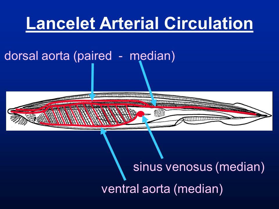 Lancelet Arterial Circulation ventral aorta (median) sinus venosus (median) dorsal aorta (paired - median)