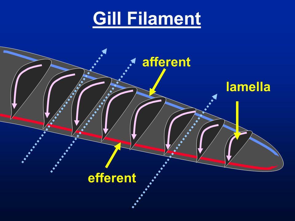 Gill Filament lamella efferent afferent