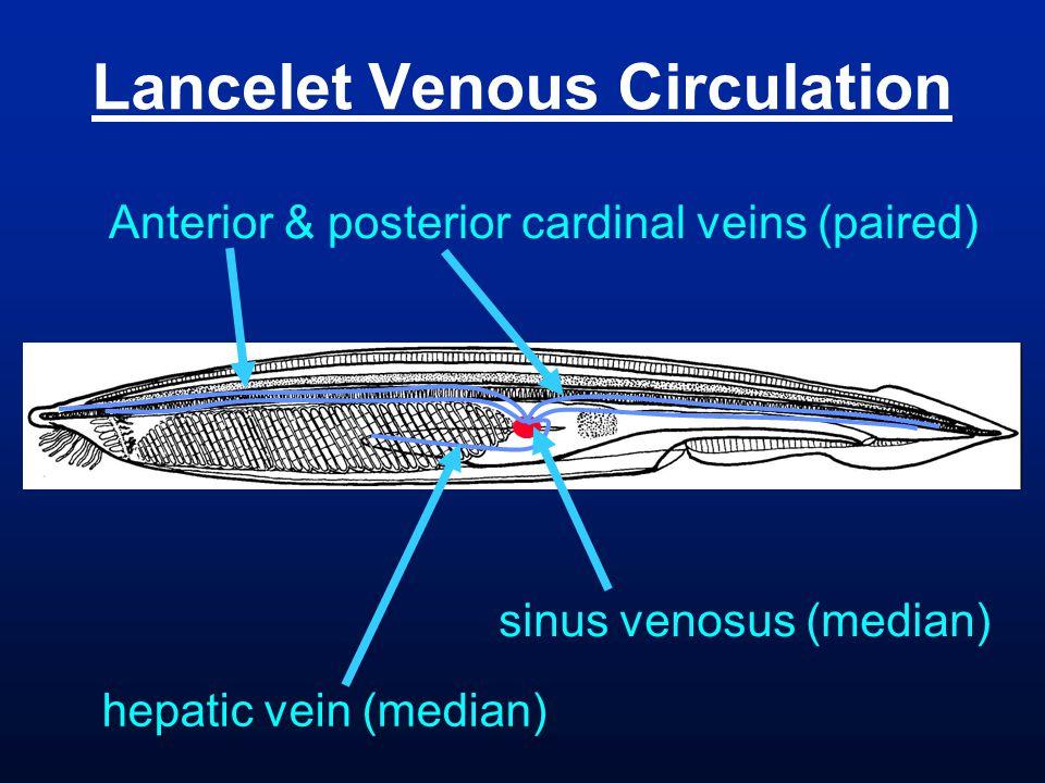 Lancelet Venous Circulation hepatic vein (median) Anterior & posterior cardinal veins (paired) sinus venosus (median)