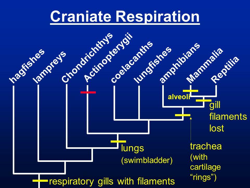 Craniate Respiration hagfishes lampreys Chondrichthys Actinopterygii coelacanths lungfishes amphibians Mammalia Reptilia lungs (swimbladder) gill fila