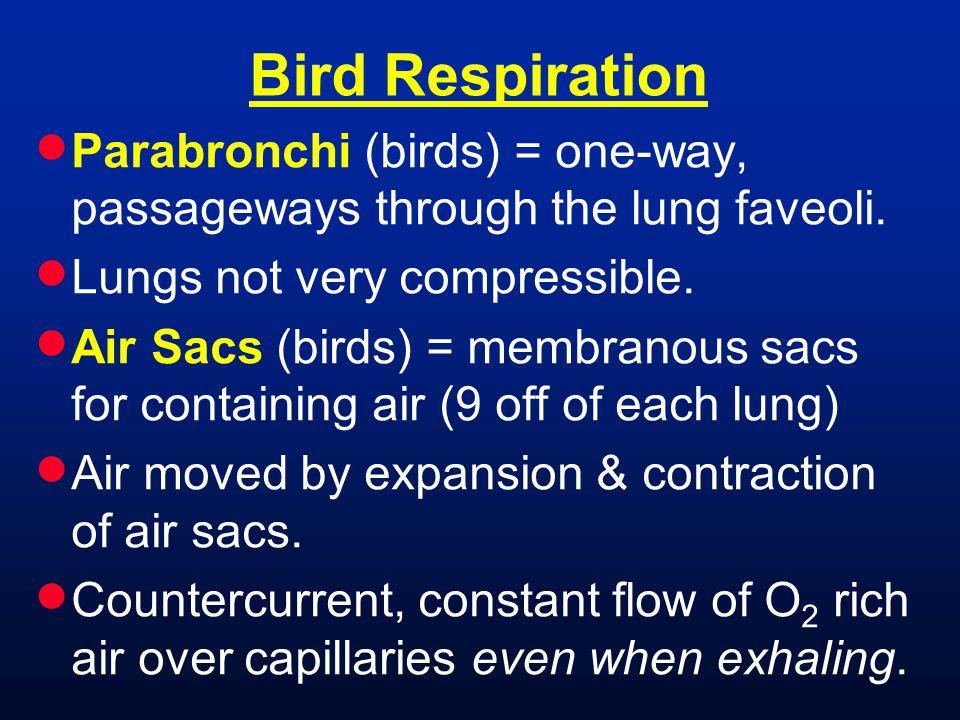  Parabronchi (birds) = one-way, passageways through the lung faveoli.  Lungs not very compressible.  Air Sacs (birds) = membranous sacs for contain