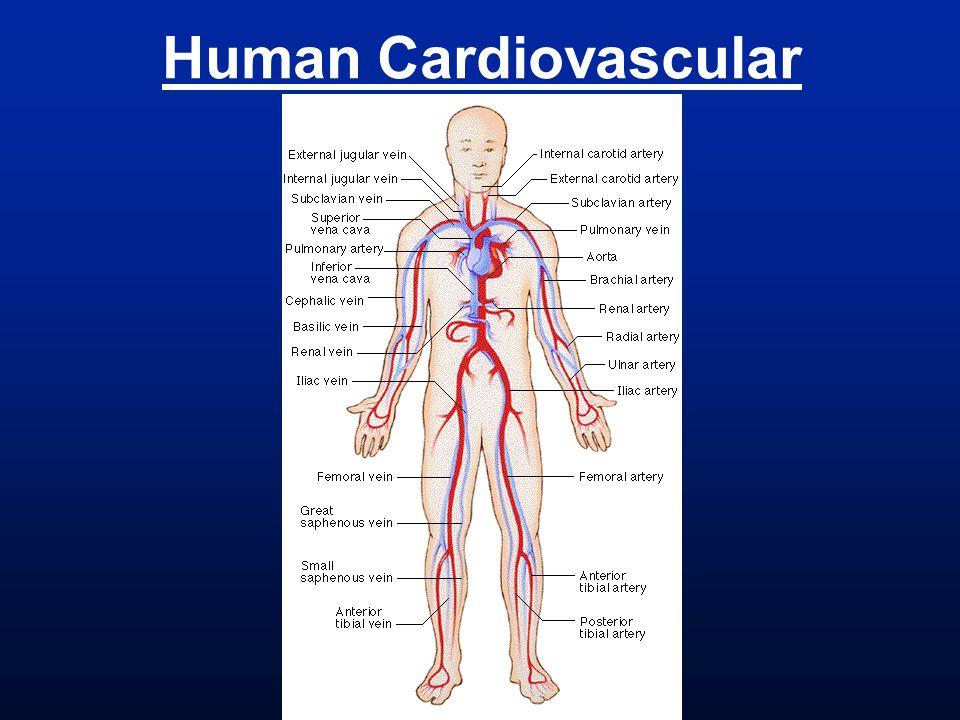 Human Cardiovascular