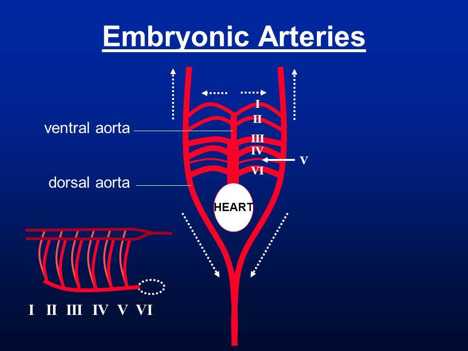 Embryonic Arteries I II III IV VI I II III IV V VI V ventral aorta dorsal aorta HEART