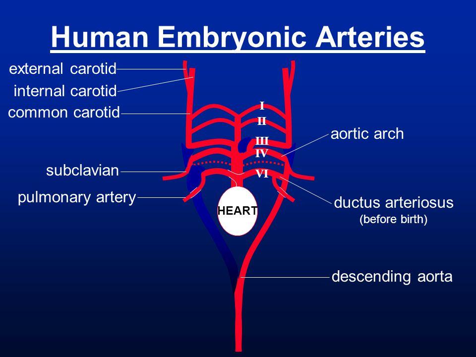 Human Embryonic Arteries I II III IV VI HEART external carotid internal carotid common carotid descending aorta aortic arch subclavian pulmonary arter