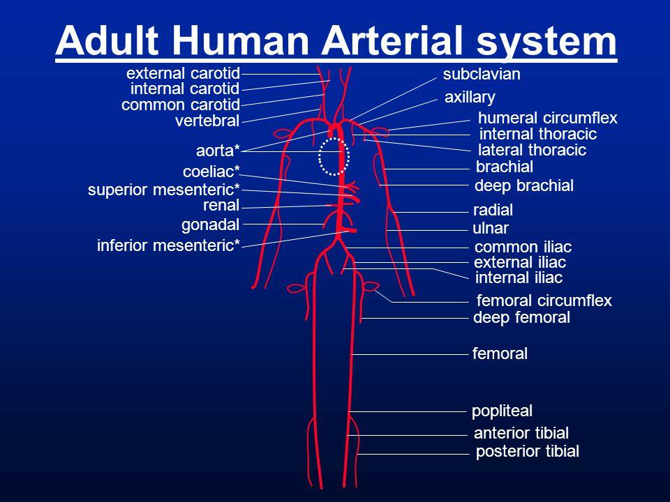 deep brachial subclavian axillary brachial radial ulnar internal thoracic humeral circumflex lateral thoracic common iliac external iliac internal ili