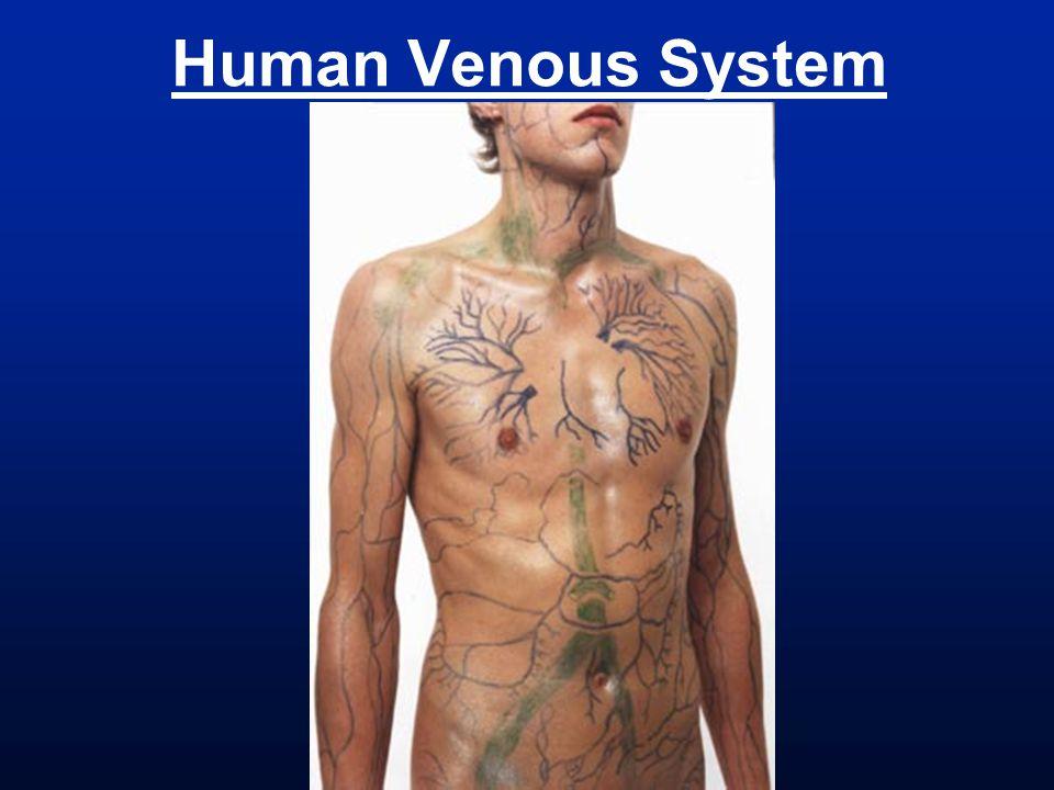 Human Venous System