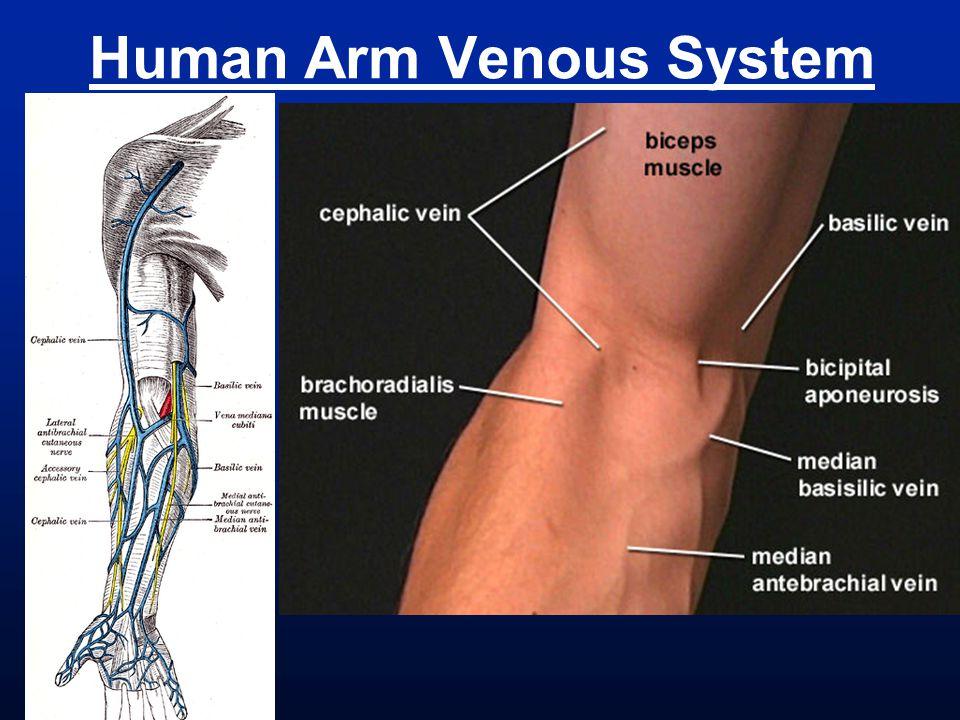 Human Arm Venous System