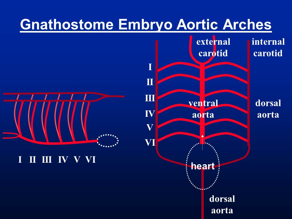 Gnathostome Embryo Aortic Arches heart I II III IV V VI internal carotid external carotid dorsal aorta ventral aorta dorsal aorta I II III IV V VI