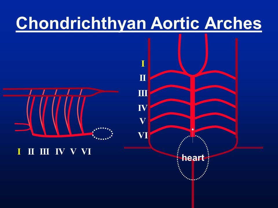 heart Chondrichthyan Aortic Arches I II III IV V VI I II III IV V VI