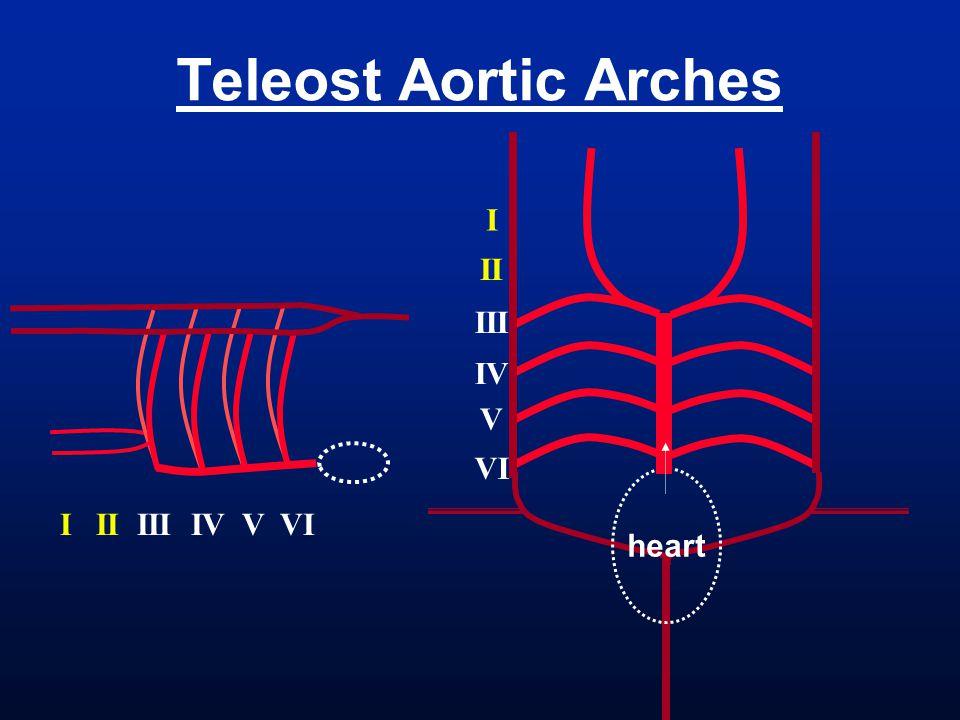 heart Teleost Aortic Arches I II III IV V VI I II III IV V VI