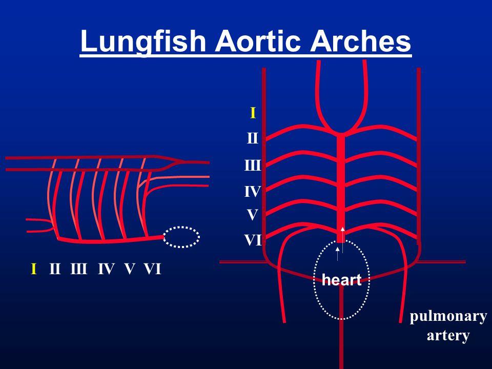 Lungfish Aortic Arches pulmonary artery heart I II III IV V VI I II III IV V VI