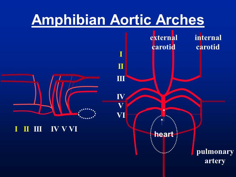 Amphibian Aortic Arches heart I II III IV V VI internal carotid external carotid pulmonary artery I II III IV V VI